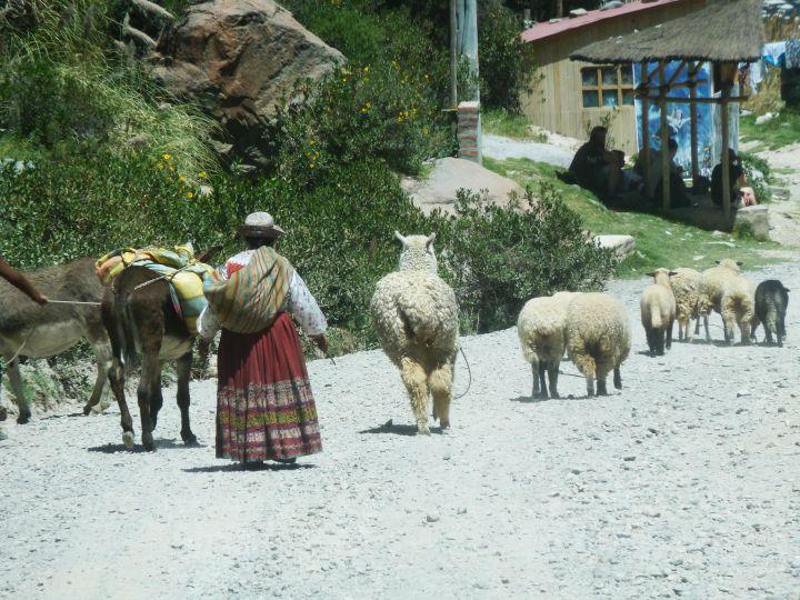 alpacas-e-lhamas-no-valle-del-colca