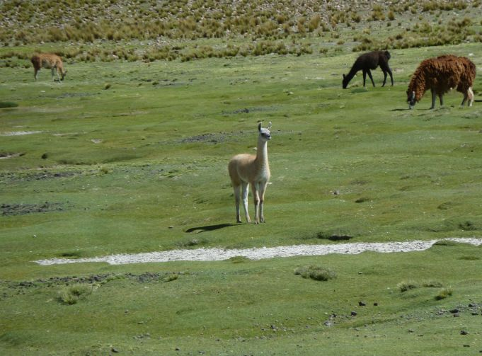 vicunha-contemplativa-nos-andes-valle-del-colca-peru-e-la-tem-lhamas-e-alpacas-tambeem