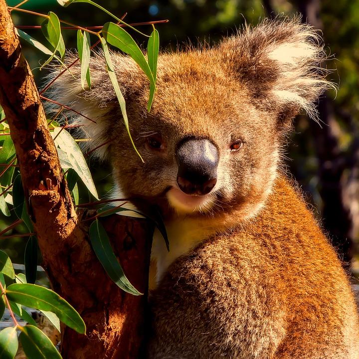 koala motivos para querer ir para australia.jpg